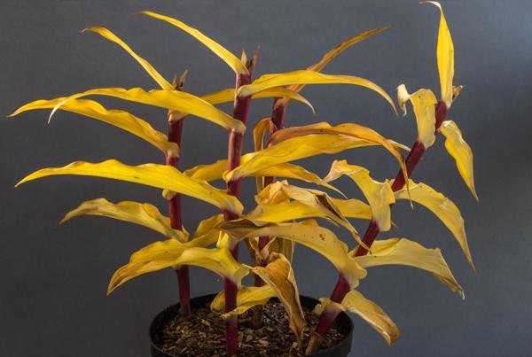 Roscoea purpurea 'Red Gurkha'