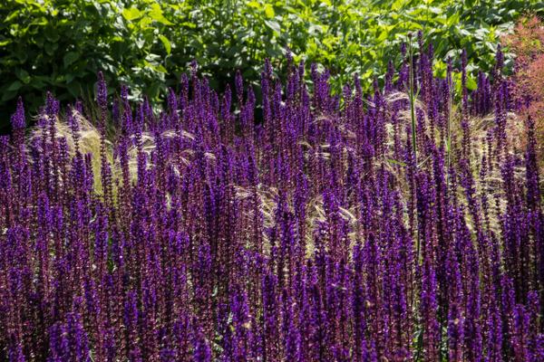 Salvia nemorosa 'Caradonna' & grasses