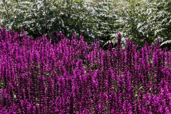 Salvia nemorosa 'Pinkfriesland' at RHS Hyde Hall