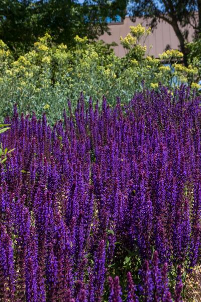 Salvia nemorosa & Thalictrum flavum