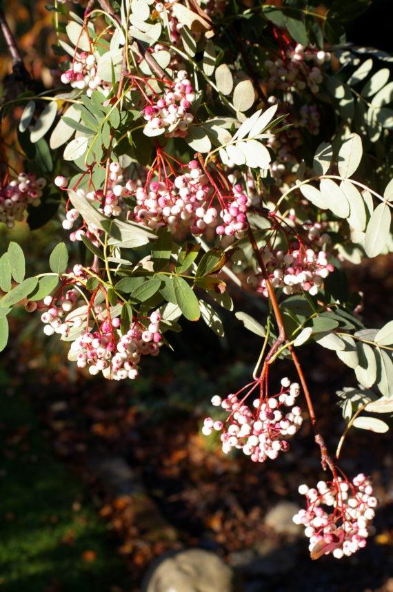 Sorbus pseudohupehensis fruits