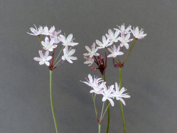 Strumaria karooica