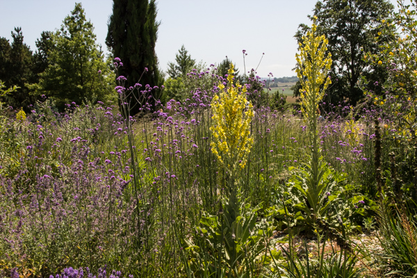 Verbascum olympicum & Verbena bonariensis