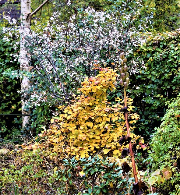 Fothergilla and Sorbus microphylla