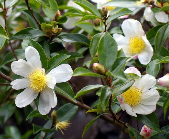 Camellia sasanqua'Narumigata'