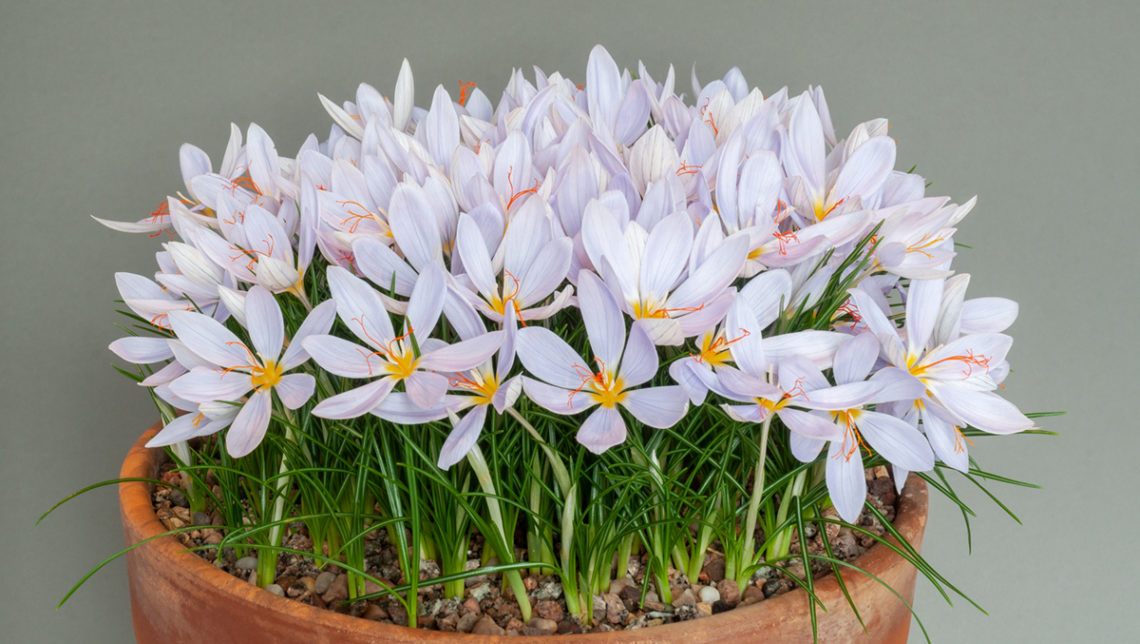 Crocus tournefortii (Exh: Alan Furness)