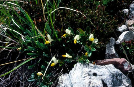 Polygala chamaebuxus and Erica carnea, on the Pordoi Pass