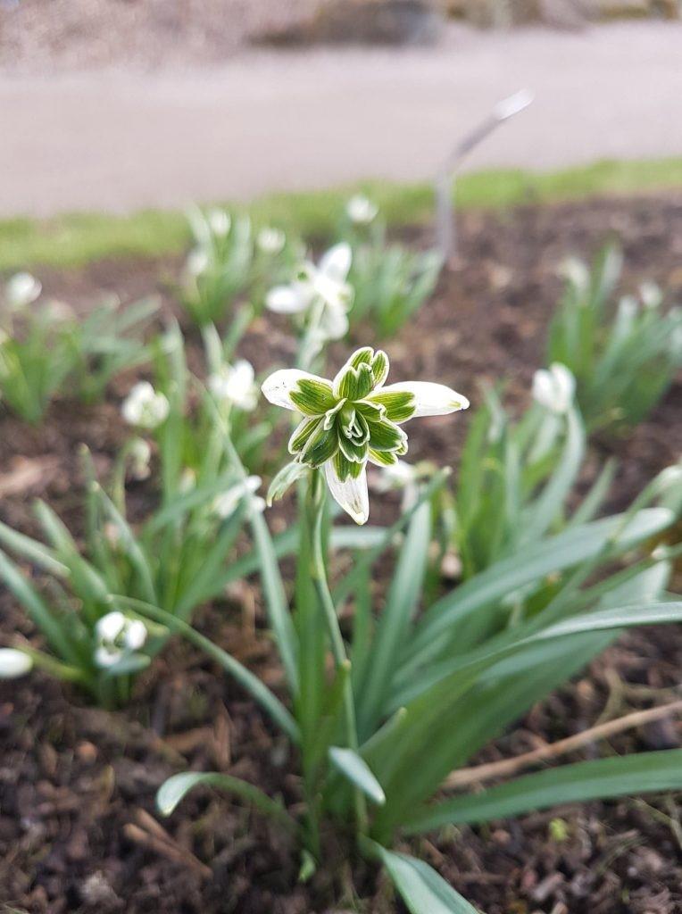 Galanthus nivalis 'Blewbury Tart'
