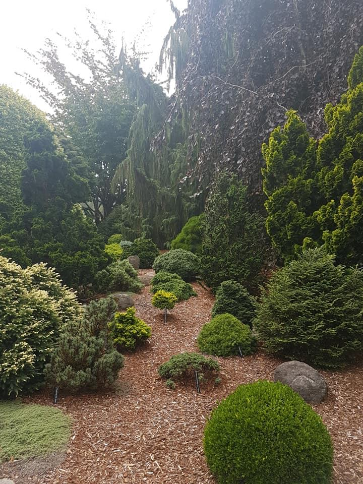 smaller grafted dwarf conifers