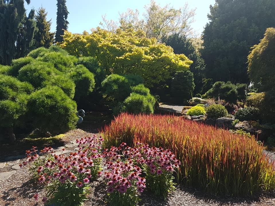 The large billowing foliage of Pinus densiflora, strong blood red colour from the dense Imperiata cylindrica 'Rubra syn Red Baron' and some Echinacea purpurea.