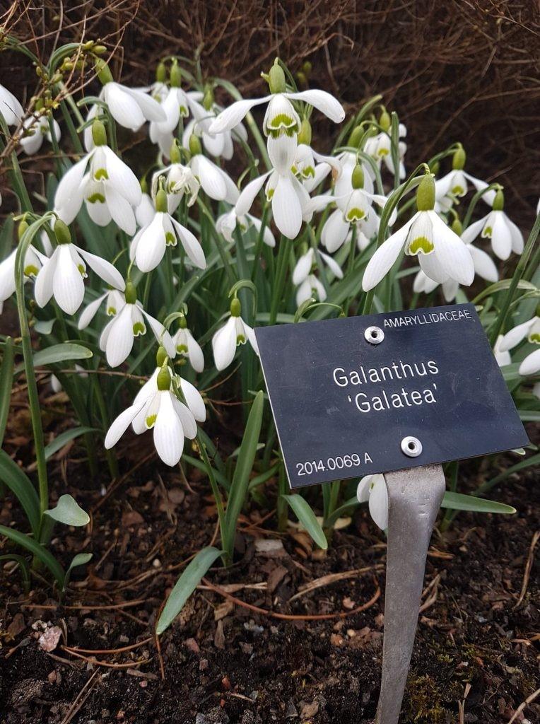 Galanthus 'Galatea'