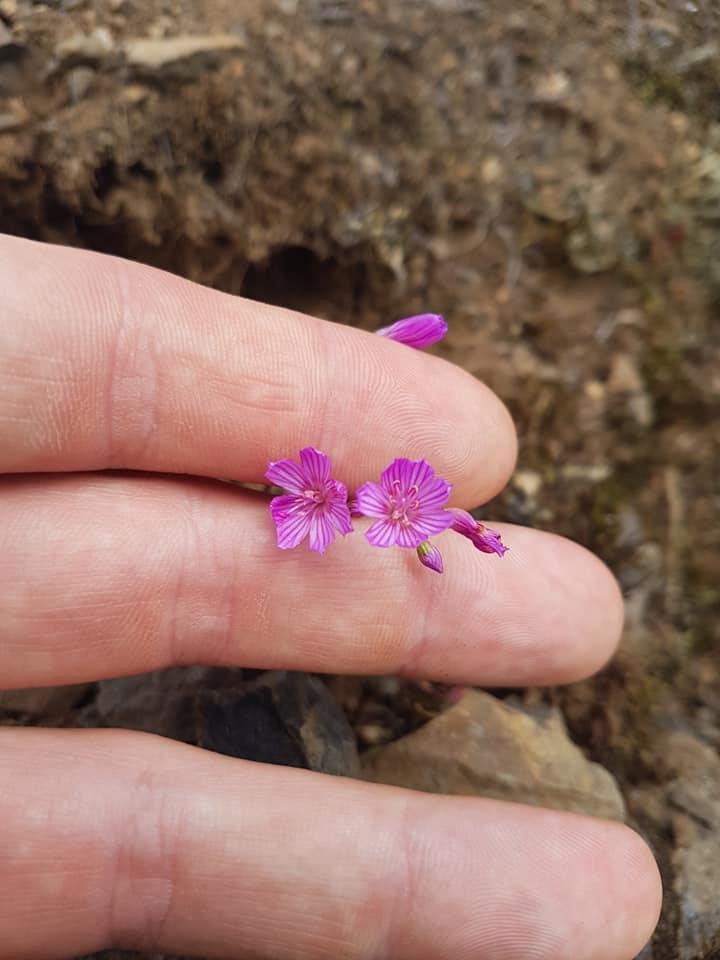 Lewisia columbiana subsp rupicola