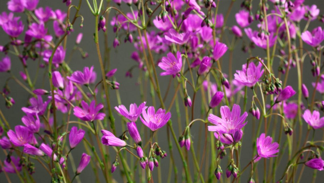 Lewisia columbiana subsp. rupicola