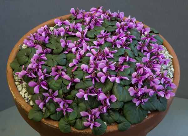 Cyclamen parviflorum, exhibited by Ian Robertson, awarded a Certificate of Merit