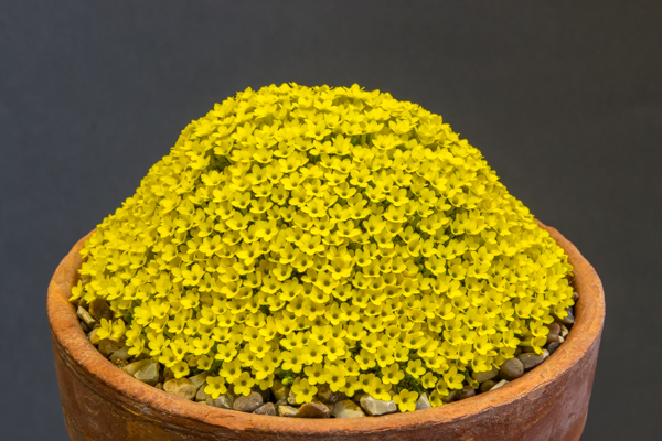 Dionysia tapetodes exhibited by Gill and Paul Ranson