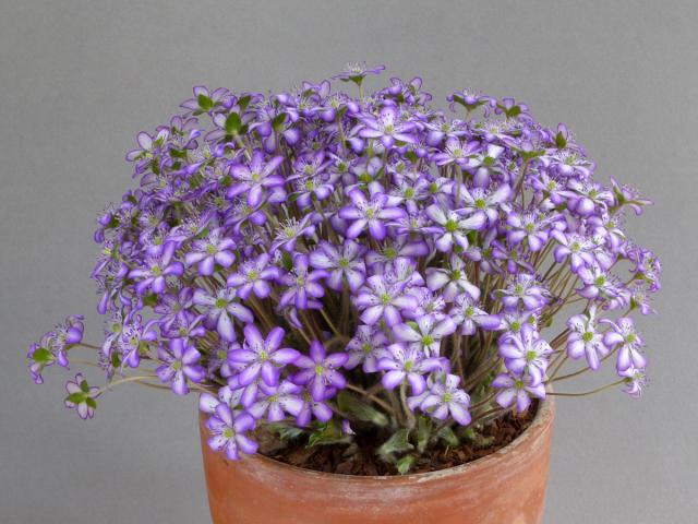 Hepatica japonica 'Utyuu'