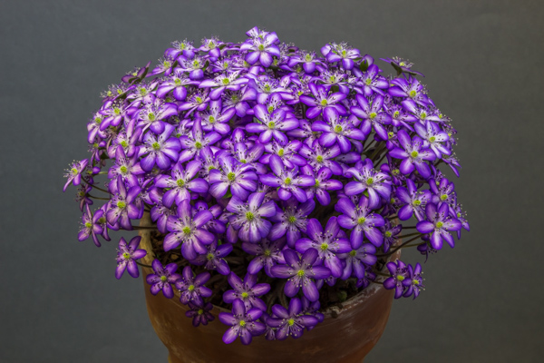 Hepatica japonica 'Utyuu' exhibited by Bob Worsley, received a Certificate of Merit