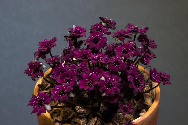 Hepatica japonica ex Tessin