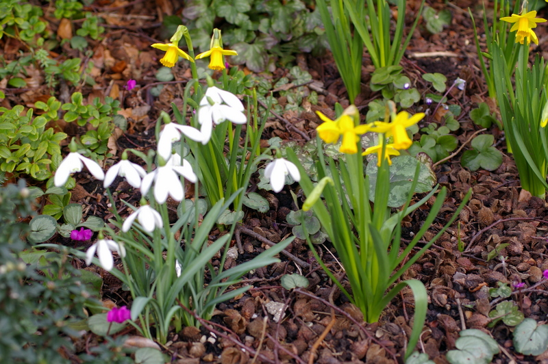 Galanthus 'Mrs Thompson' and Narcissus 'Tete-a-Tete'