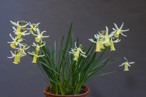 Narcissus alpestris x cyclamineus, exhibited by Rannveig and Bob Wallis, winnr of the AGS Seed Distribution Award
