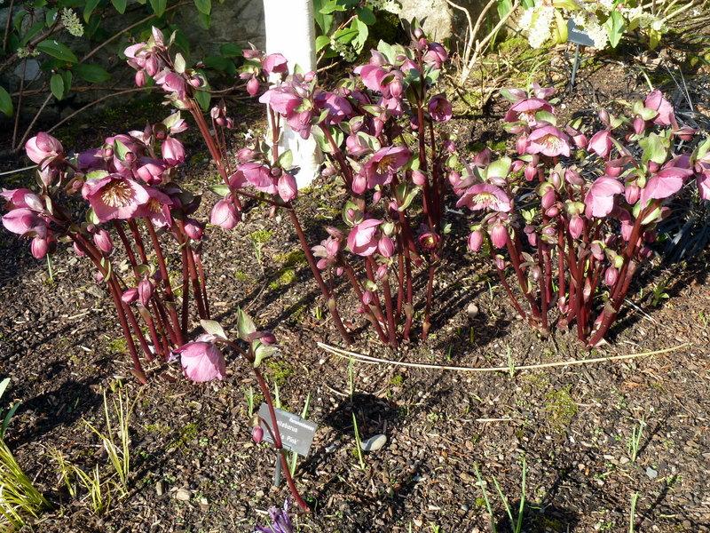 Helleborus x hybridus 'Penny's Pink'