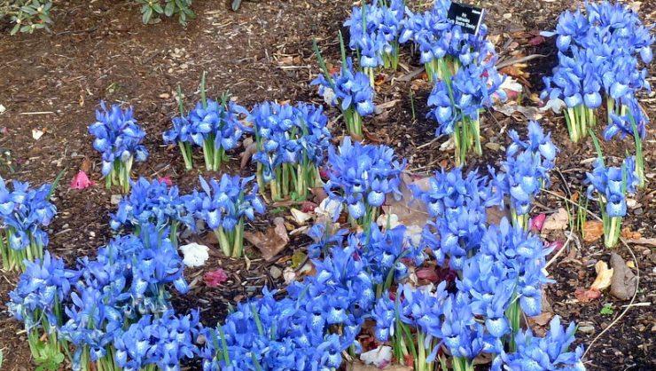 Iris histrioides 'Lady Beatrix Stanley'