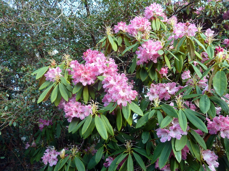 Rhododendron ? pachysanthum