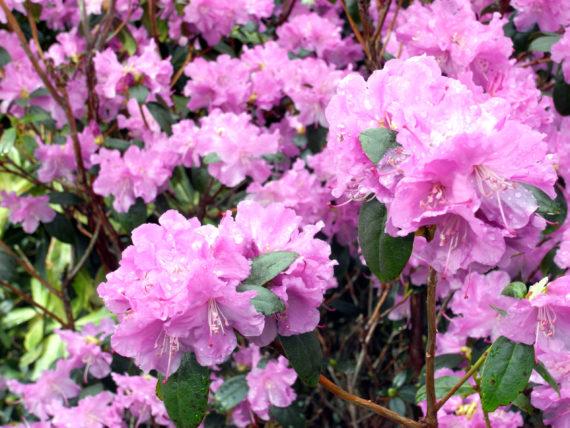 Rhododendron x praecox in flower