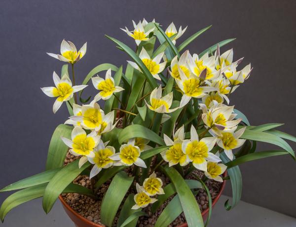Tulipa orithoides
