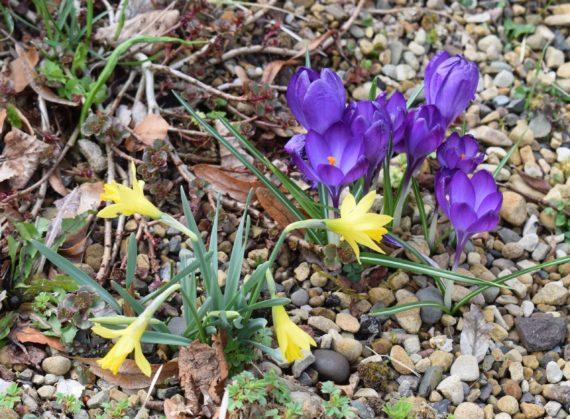 Crocus Violet Queen and Narcissus asturiensis