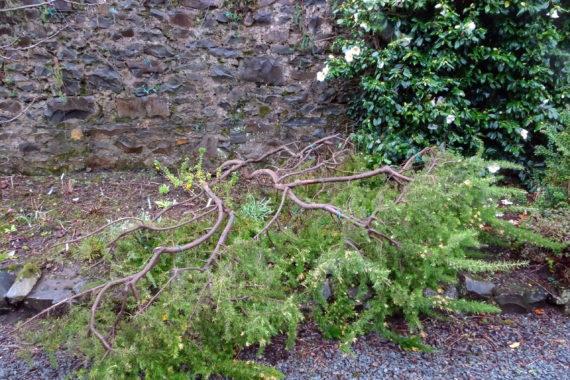 Grevillea alpina 'Sulphurea' storm damage