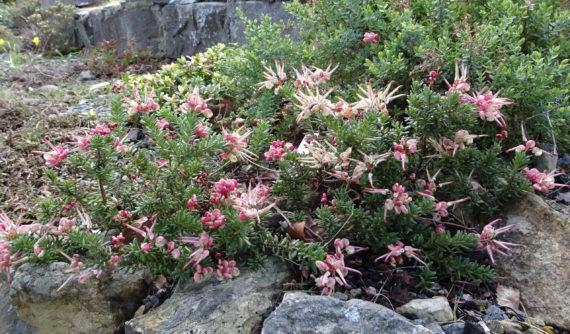 Grevillea lanigera subsp. prostrata 'Mt. Tamboritha'
