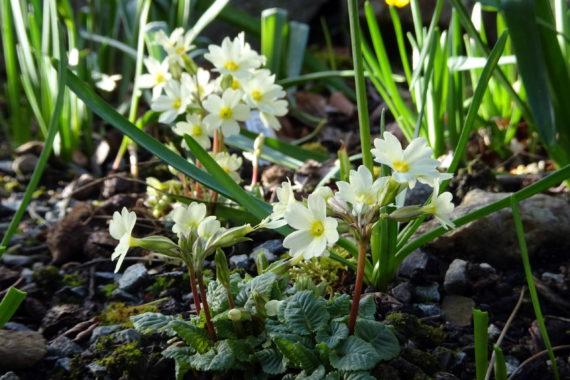 Primula elatior subsp. elatior