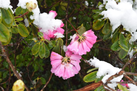 Rhododendron Xmas cheer