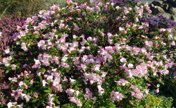 Rhododendron x cilpinense