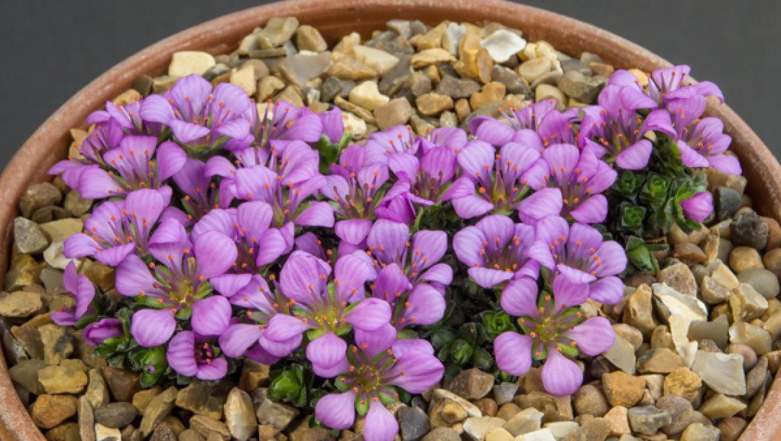 Saxifraga oppositifolia subspecies latina