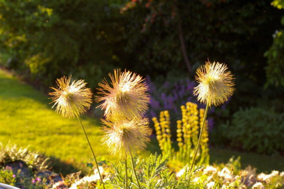 Pulsatilla alpina subspecies apiifolia seedheads.(pasque flower) seedheads