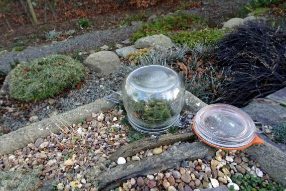 Glass jar protecting flowers of Pulsatilla vernalis