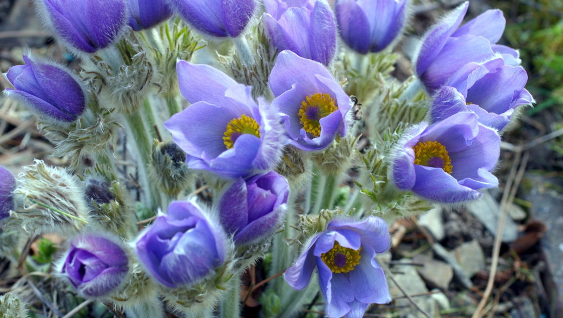 Pasque flower, Pulsatilla 'Budapest Seedling', close-up