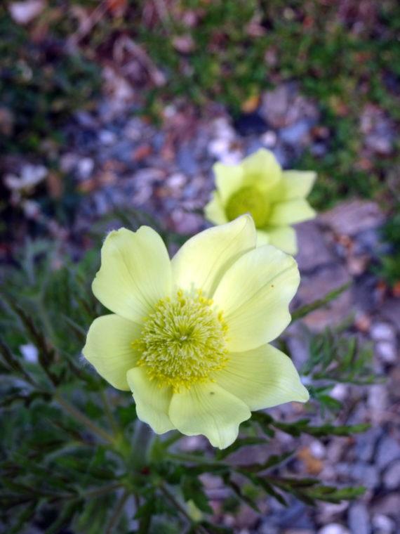 Pasque flower, Pulsatilla alpina subsp. apiifolia, close-up