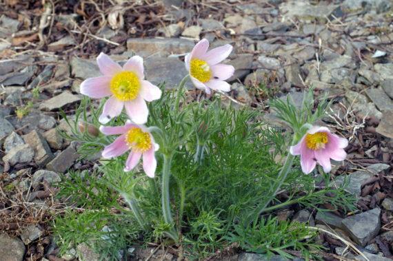 Pasque flower, Pulsatilla ambigua