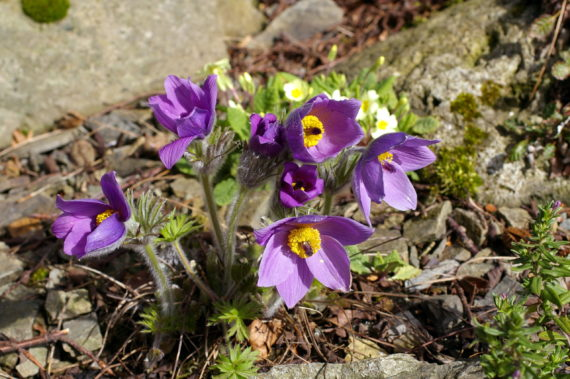 Pasque flower, Pulsatilla halleri subspecies slavica