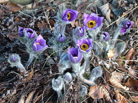 Pulsatilla halleri subspecies slavica, Pulsatilla slavica, Bod Hyfryd April 2006