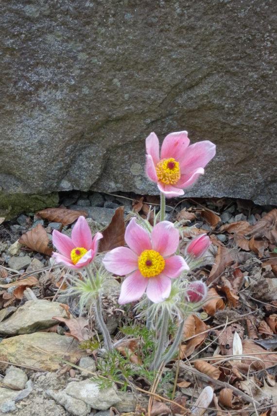 Pasque flower, Pulsatilla sp. aff. zimmermannii, pink