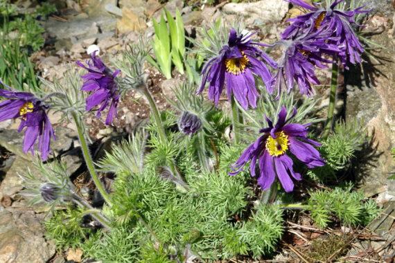 Pulsatilla vulgaris 'Papageno purple'