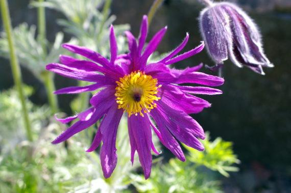 Pasque flower, Pulsatilla vulgaris 'Papageno'