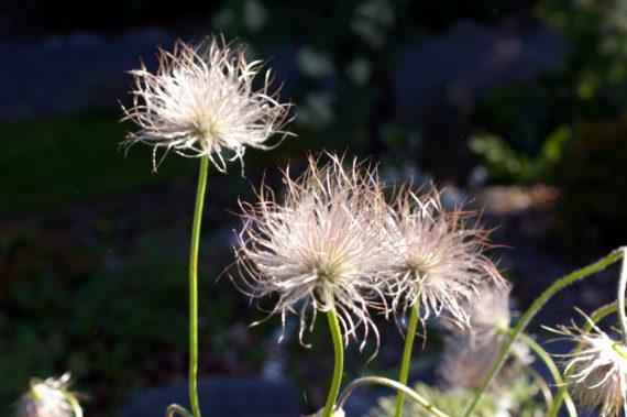 Pulsatilla vulgaris seedheads