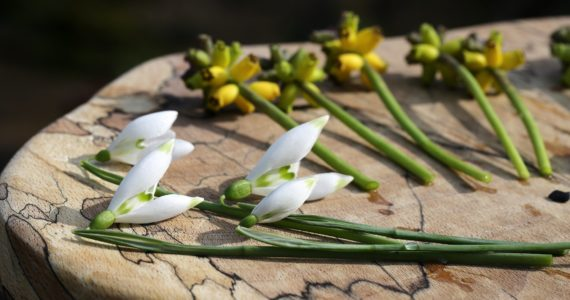 Snowdrops laid out ready for flower arrangements