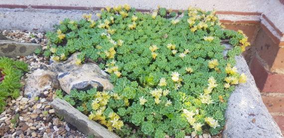 Sedum pachycladus