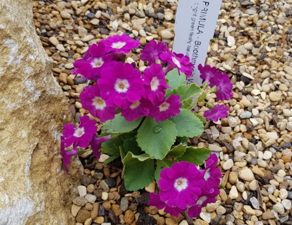 Primula 'Boothman's variety'